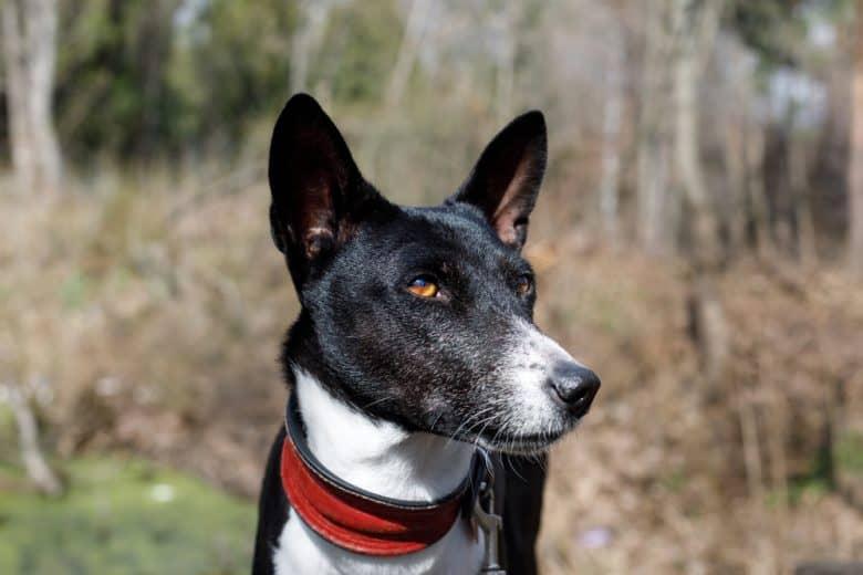 Senior Basenji dog portrait