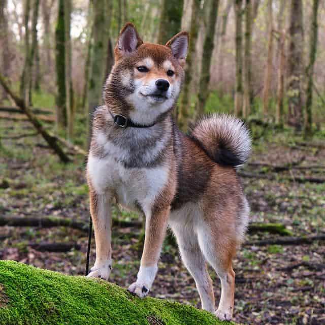 Sesame Shiba Inu dog named Yoki