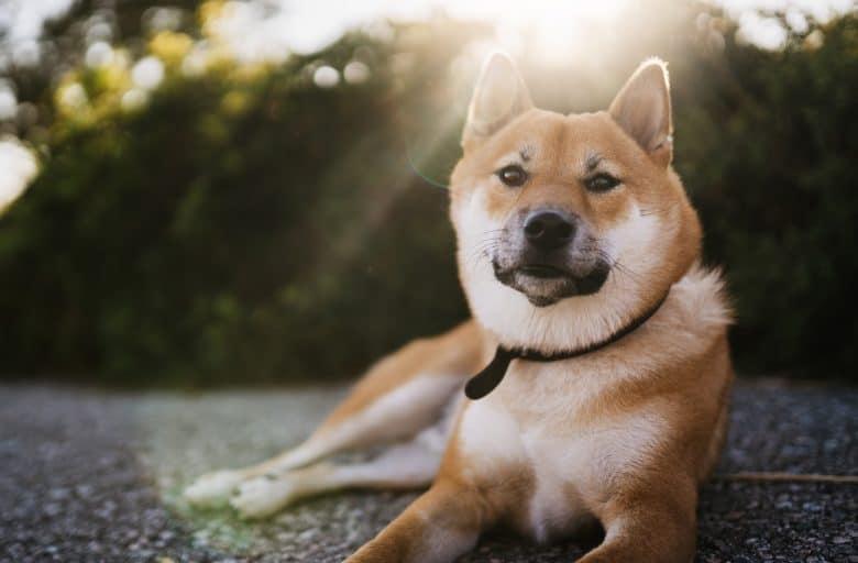 Shiba Inu dog relaxing outdoor