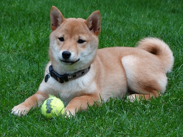 Shiba Inu Dog Breed Information K9 Web