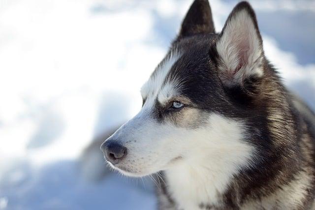 Siberian Husky Dog Breed Faqs