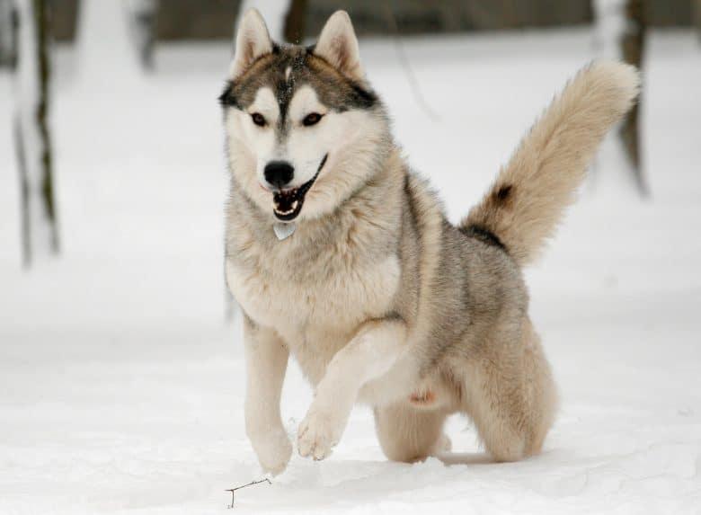 Siberian Husky running in snow