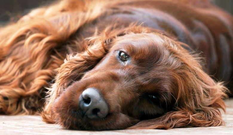 Sick Irish Setter dog lying on the bed