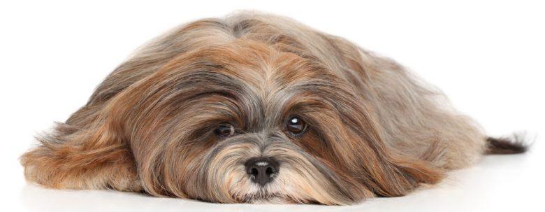 Sick Lhasa Apso dog lying down