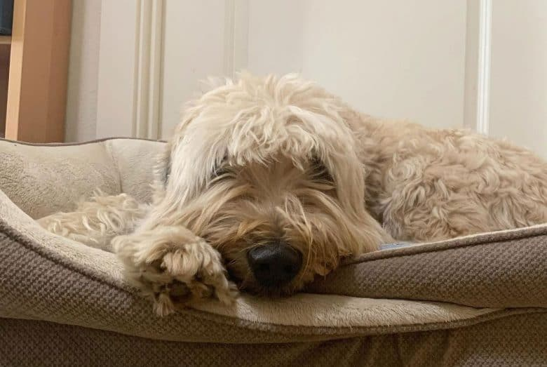 Sick Soft Coated Wheaten Terrier dog lying on the bed