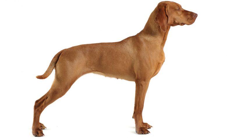 Side view of purebred Vizsla dog