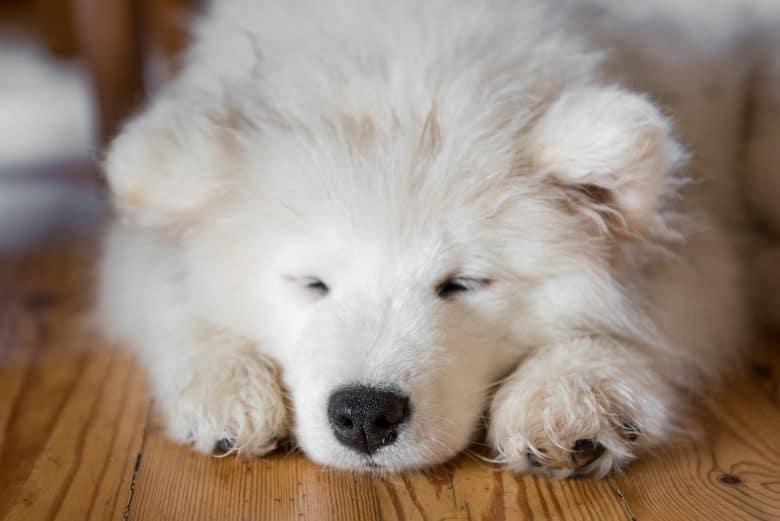 Sleepy Samoyed dog lying on the floor