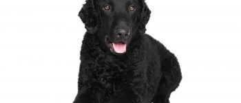 Smiling Curly Coated Retriever