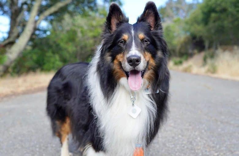 A happy Tri-Color Sheltie dog