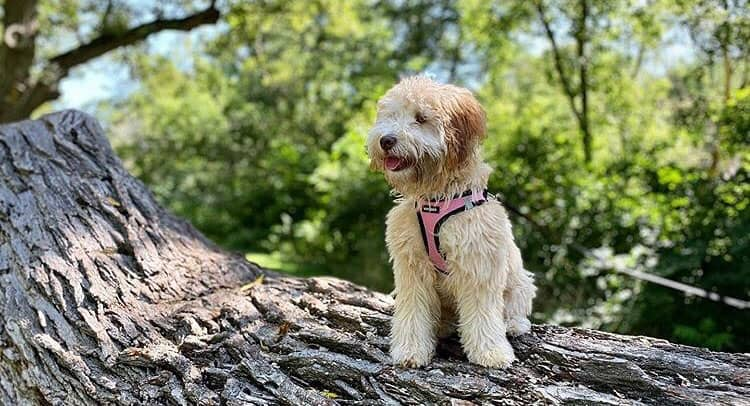 Soft Coated Wheaten Terrier and Poodle mix dog in the big tree stump
