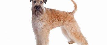 Soft Coated Wheaten Terrier dog portrait