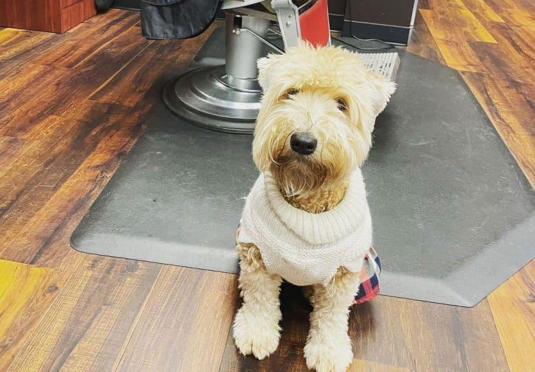 Soft Coated Wheaten Terrier dog ready for hair cut