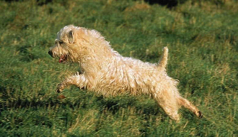 Soft Coated Wheaten Terrier dog running on the meadow