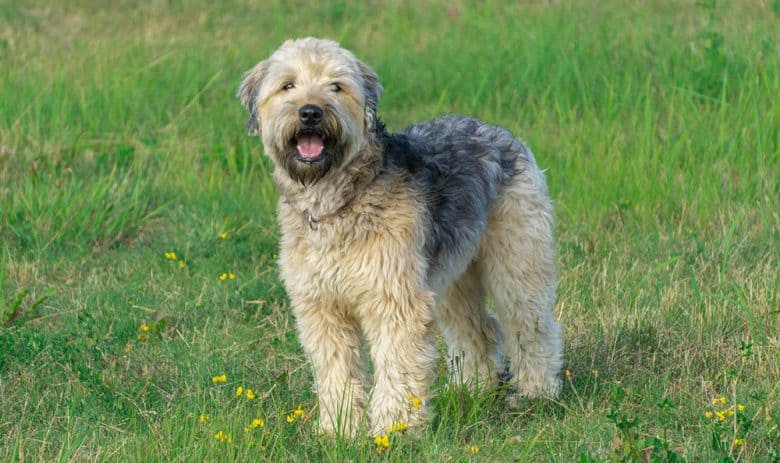 Soft Coated Wheaten Terrier dog standing on the meadow