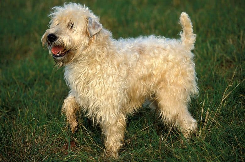 Soft Coated Wheaten Terrier dog walking on the grass