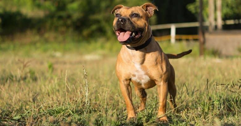 Staffordshire Bull Terrier barking in the field