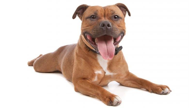 Staffordshire Bull Terrier dog portrait
