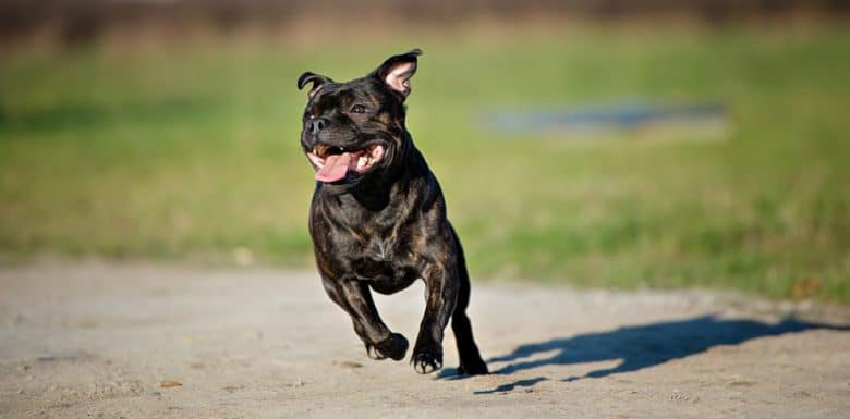 Staffordshire Bull Terrier dog running in a sunny day