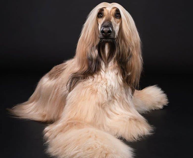 A full-grown portrait of Afghan Hound dog