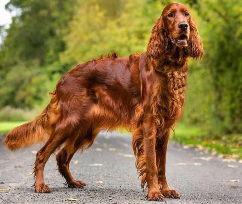 Stunning portrait of purebred Irish Setter dog