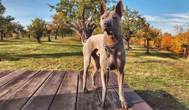 Thai Ridgeback dog posing on the autumn field background