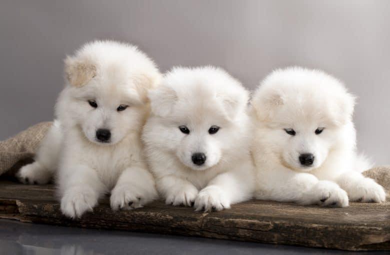 Three adorable Samoyed dog puppies
