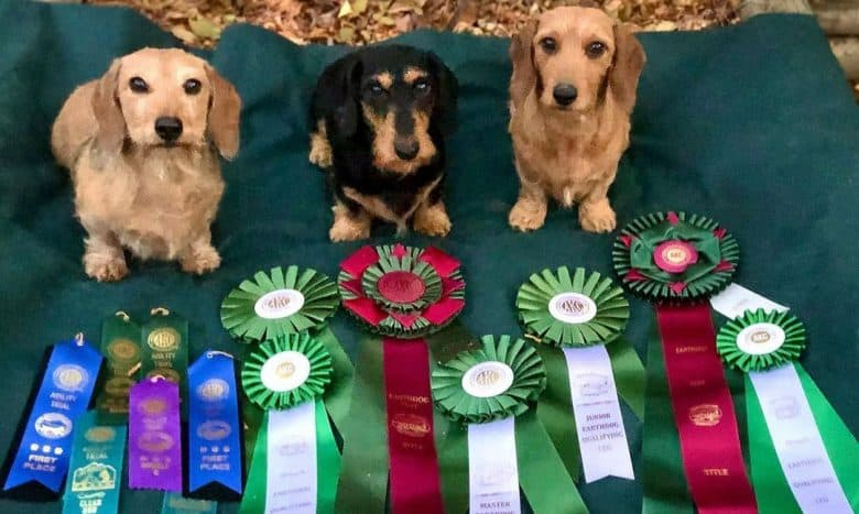 Three Dachshund dogs receiving multiple awards