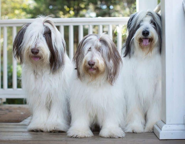 Three fluffy Polish Lowland Sheepdog