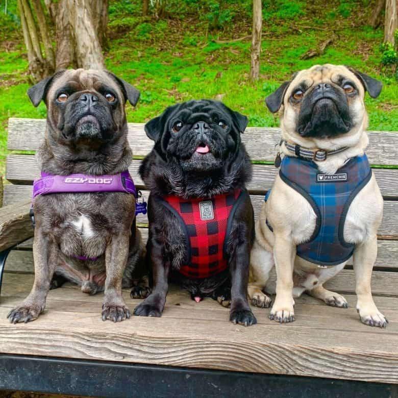 Three Pug dogs wearing harness