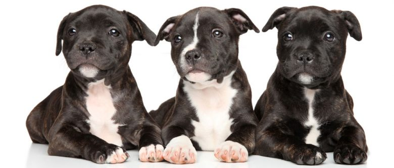Three Staffordshire Bull Terrier puppies lying down