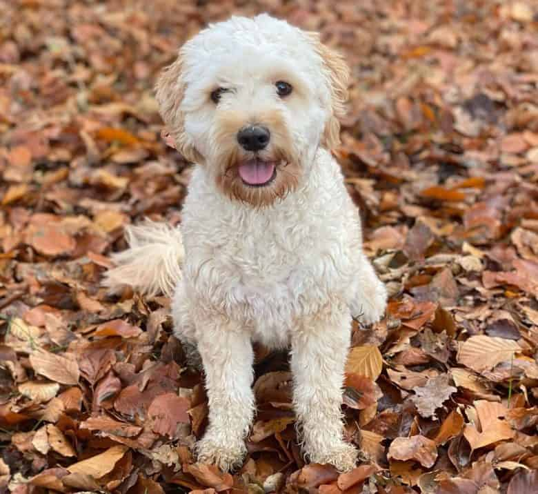 Tibetan Terrier and Poodle mix