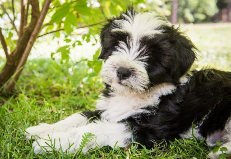 Tibetan Terrier dog relaxing on the grass