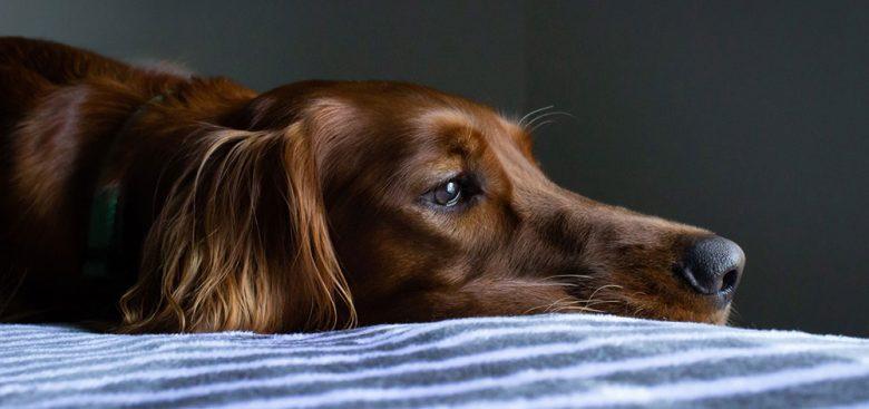 Tired Irish Setter dog lying on the bed