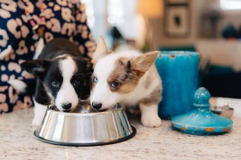 Two adorable Cardigan Welsh Corgis sharing meal together