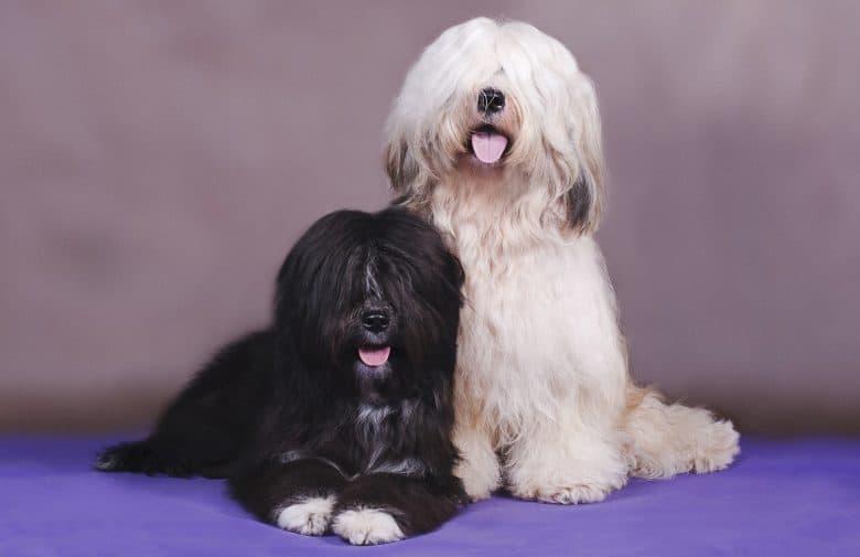 Two adorable Tibetan Terrier dogs