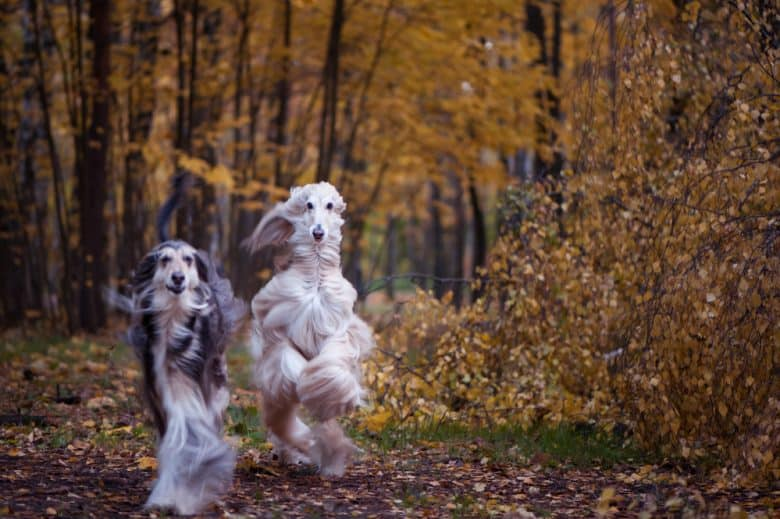 Two beautiful Afghan hounds running in the park