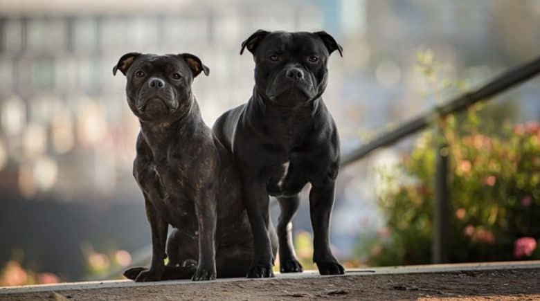 Two black Staffordshire Bull Terrier dogs