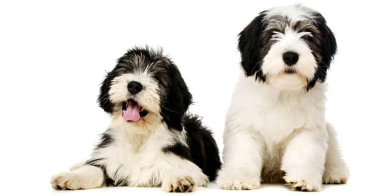 Two cute Polish Lowland Sheepdog puppies