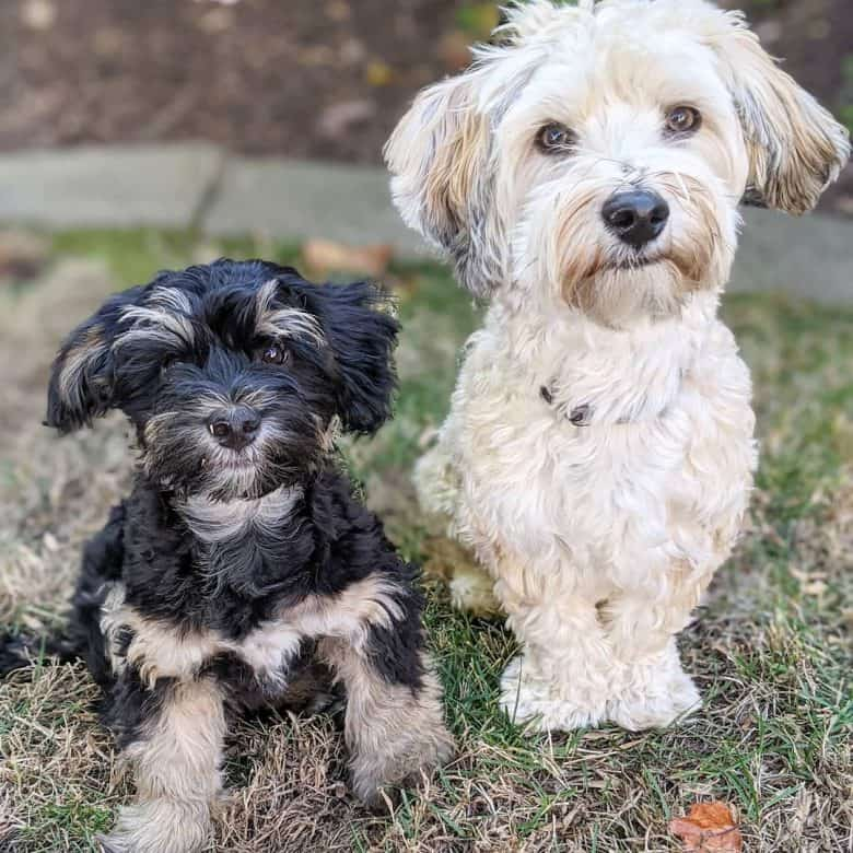 Two Havanese dogs in different colors