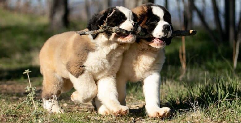 Two Saint Bernard puppies playing a stick together