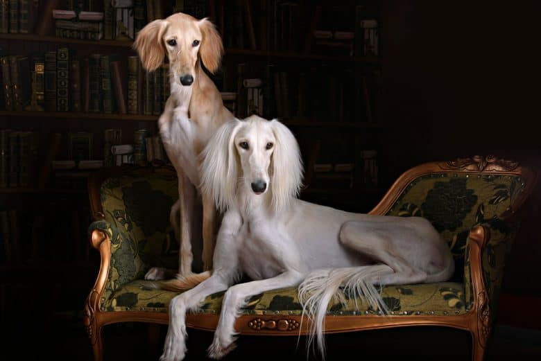 Two Saluki dogs in a royal living room