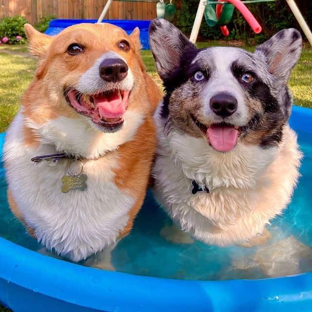 Two smiling Cardigan Welsh Corgis enjoying the water