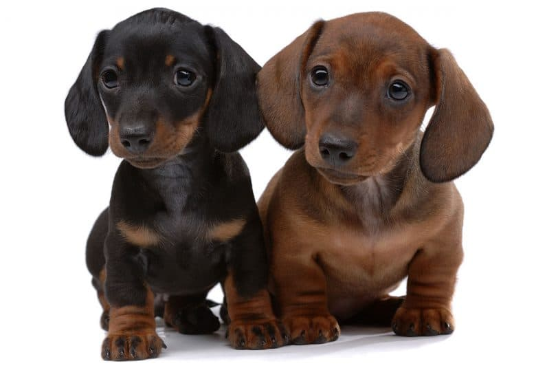 Two smooth-haired Dachshund puppies