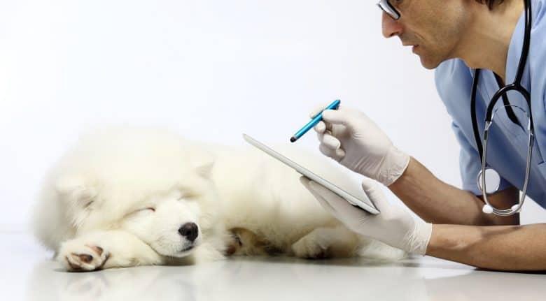 Veterinarian examines a Samoyed dog