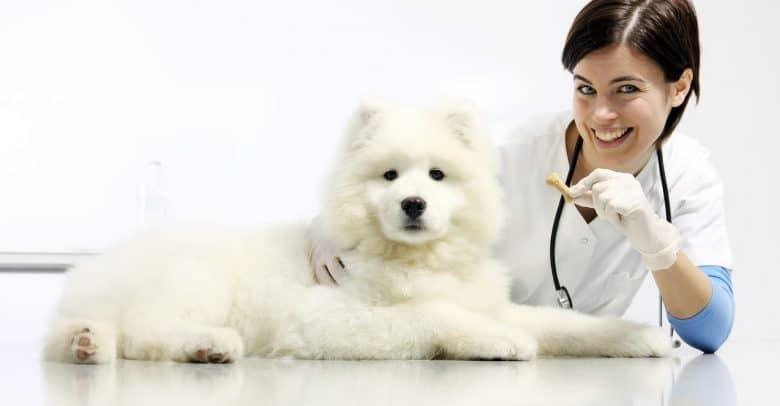Veterinarian gives treat to a Samoyed dog