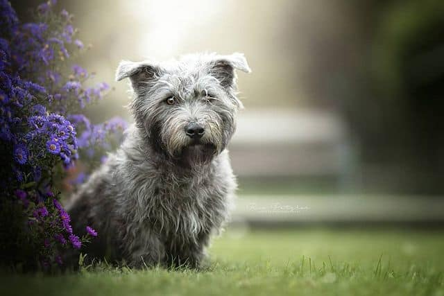Vignette portrait of adorable Glen of Imaal Terrier