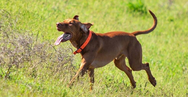Vizsla dog hunting on the grassy hills