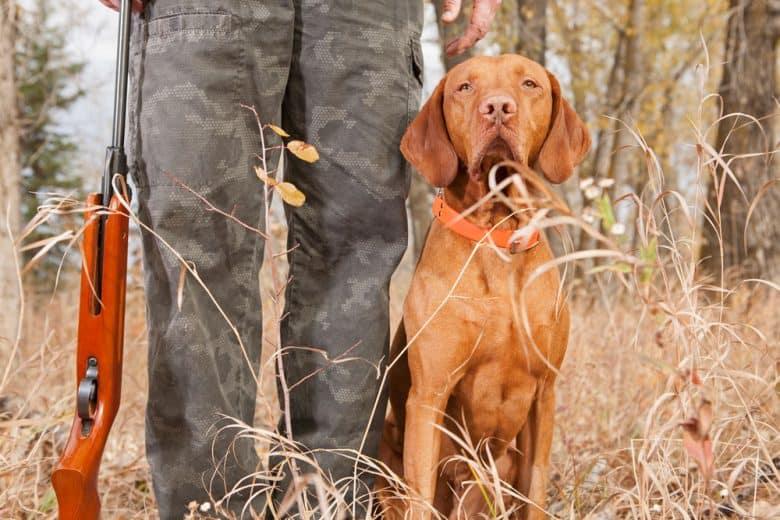 Vizsla hunting dog with the hunter