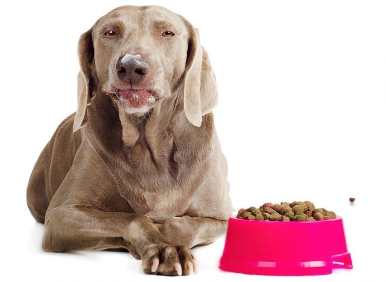 Weimaraner dog eating his food
