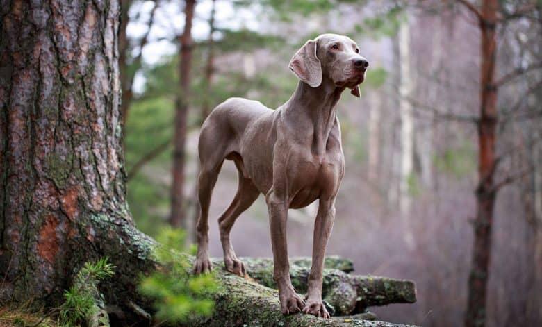 Weimaraner dog posing under the big tree